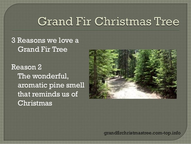 Why Grand Fir Christmas Tree Are Popular
