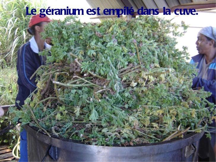 Le géranium est empilé dans la cuve.