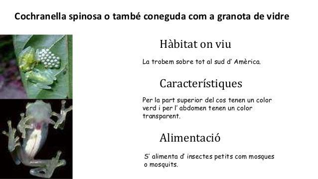 Hàbitat on viu La trobem sobre tot al sud d' Amèrica. Característiques Alimentació S' alimenta d' insectes petits com mosq...