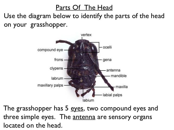 Grasshopper Labeled Diagram Of Mouth - DIY Enthusiasts Wiring Diagrams •