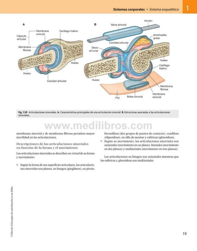 Sistemas corporales • Sistema esquelético A --------Membrana Cartílago hialino Fig. 1.20 Articulaciones sinoviales. A. Car...