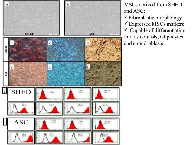 MSCs derived from SHED and ASC: Fibroblastic morphology Expressed MSCs markers  Capable of differentiating into osteobl...