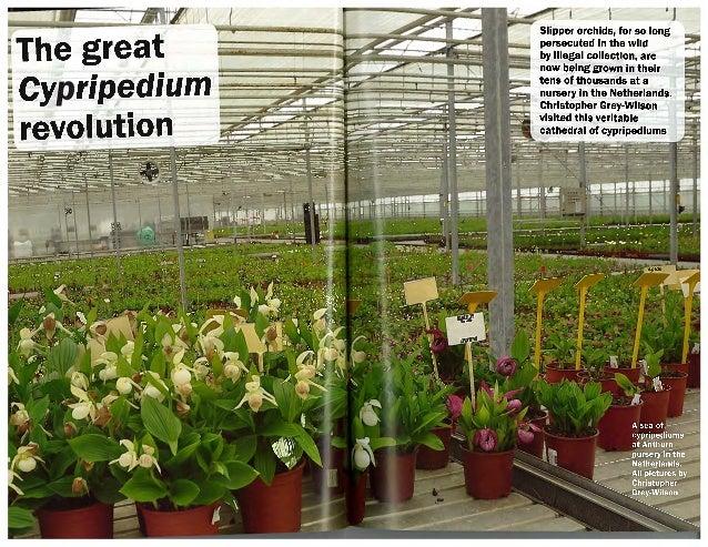 Great cypripedium revolution