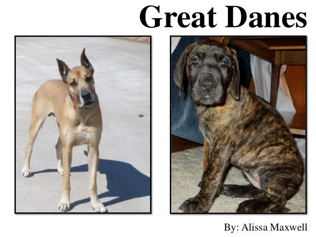 Great Danes By: Alissa Maxwell