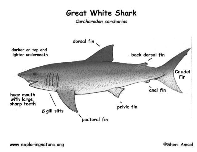 Great white shark anatomy handout