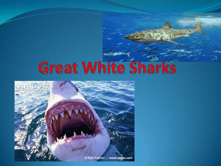 A fish about 9 to 21 ft. long glides through thewater: A shark called the great   white .Great means big, whiteshark. A gr...