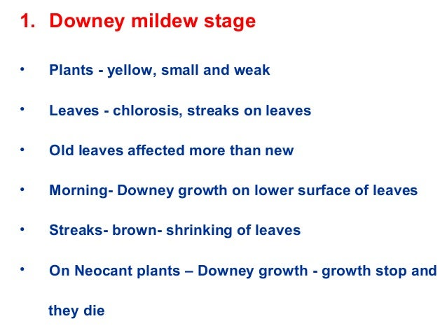 1. Downey mildew stage • Plants - yellow, small and weak • Leaves - chlorosis, streaks on leaves • Old leaves affected mor...