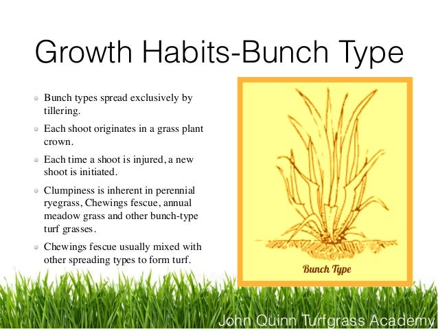 John Quinn Turfgrass Academy Growth Habits-Bunch Type Bunch types spread exclusively by tillering. Each shoot originates i...