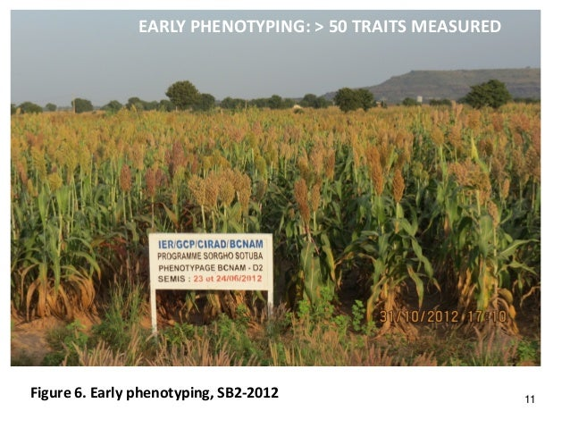 EARLY PHENOTYPING: > 50 TRAITS MEASURED Figure 6. Early phenotyping, SB2-2012 11