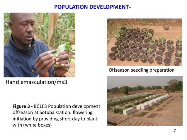 POPULATION DEVELOPMENT- Hand emasculation/ms3 Offseason seedling preparation Figure 3 - BC1F3 Population development offse...