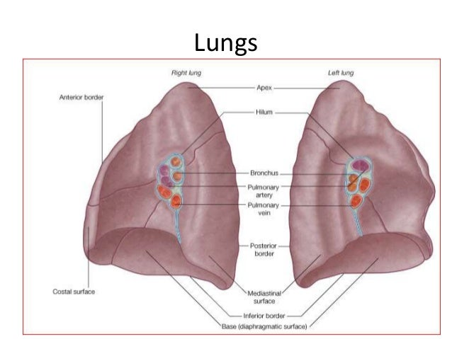 Gross Anatomy And Development Of Respiratory System