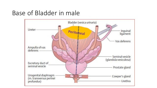 Bladder Base Anatomy Diagram Diy Enthusiasts Wiring Diagrams