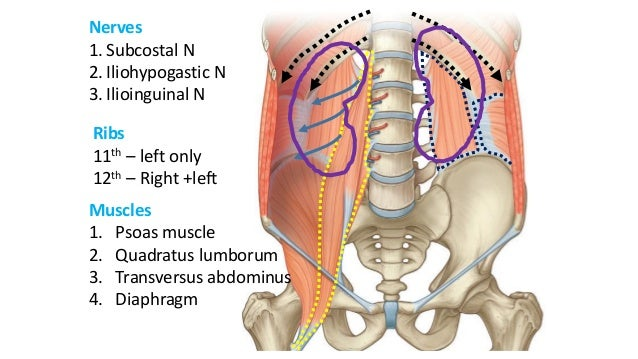 Gross Anatomy And Histology Of Urinary System