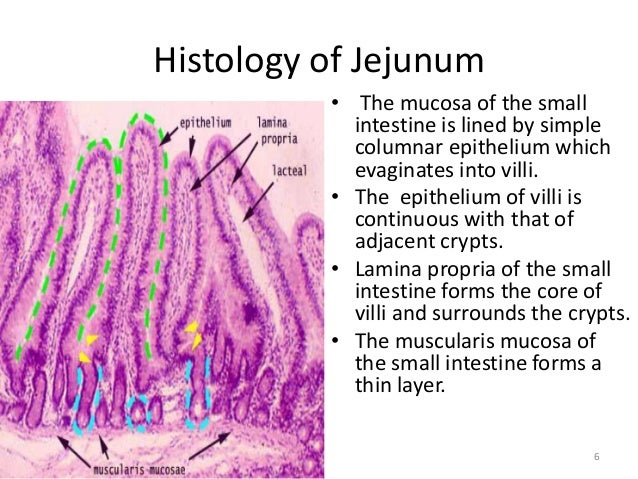 Gross anatomy & histology of ileum, jejunum