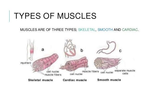 Gross anatomy muscles