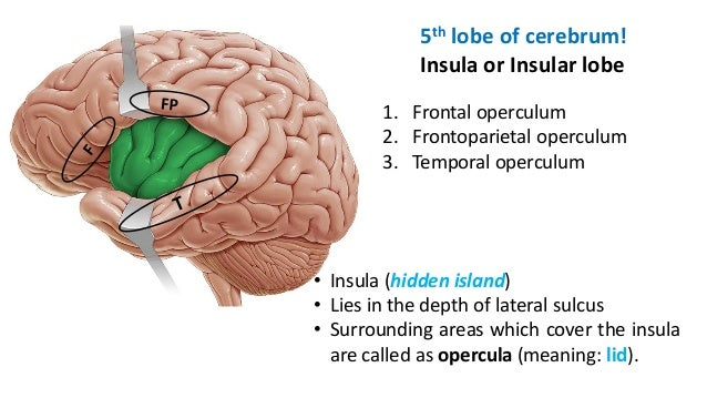 Gross Anatomy Of Cerebral Hemisphere