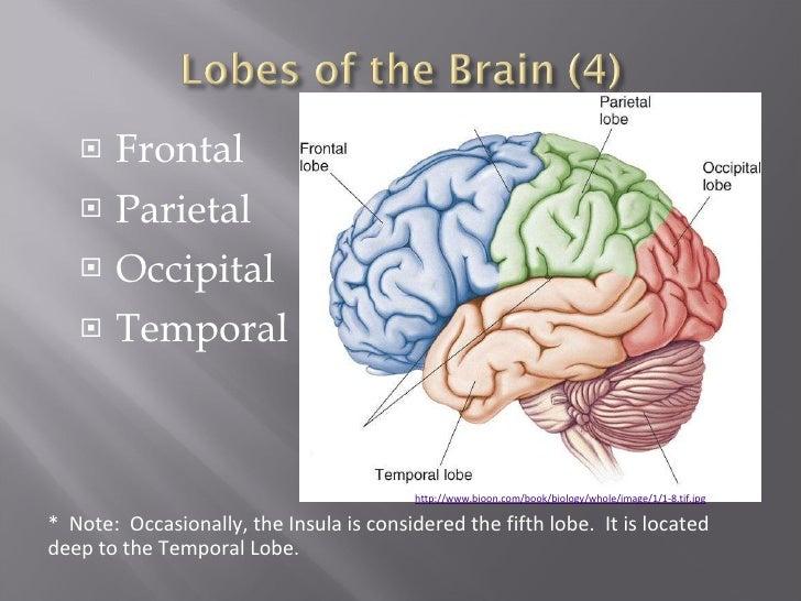 Gross Anatomy Of Human Brain