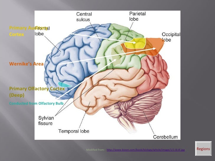 Gross Anatomy Of Human Brain