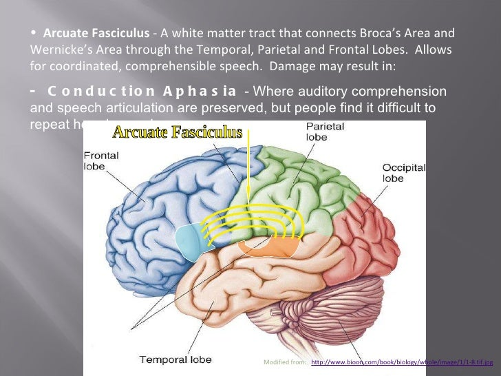 gross anatomy of the brain and This extensive online neuroanatomy atlas covers all aspects of neuroanatomy:  gross anatomy of the brain, histological sections of the spinal cord and the brain, .
