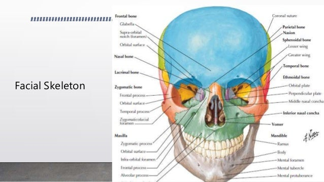 Anatomy of the face bones