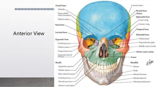 Gross anatomy of skull and facial bones