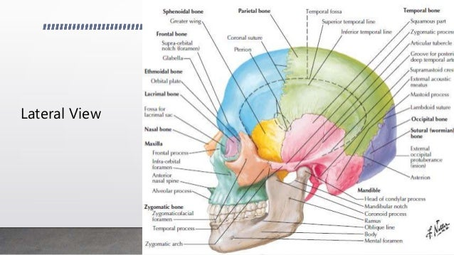 Lateral Facial Bones Diagram - DIY Enthusiasts Wiring Diagrams •