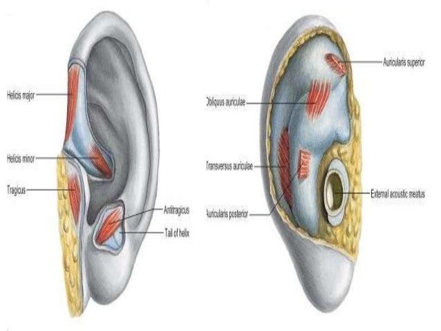 Gross Anatomy Of The Ear