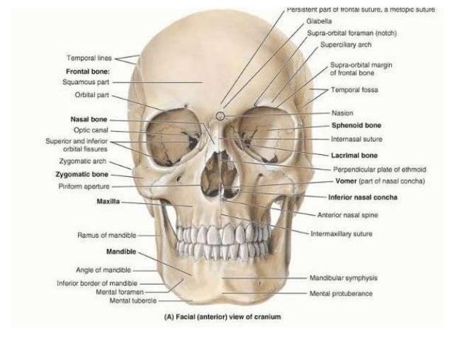 Skull Neck Anatomy Diagram - DIY Enthusiasts Wiring Diagrams •