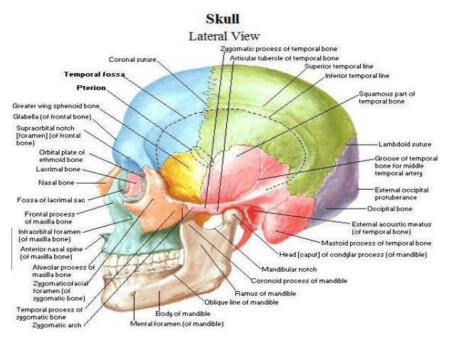 gross anatomy of the head and neck, Human Body