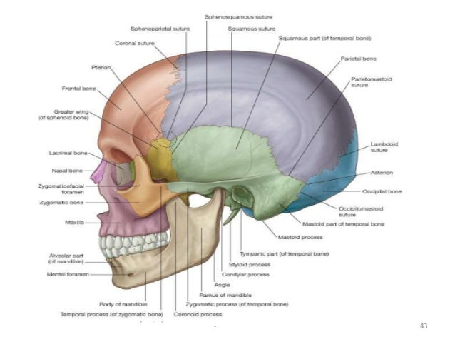 Gross anatomy of head and neck