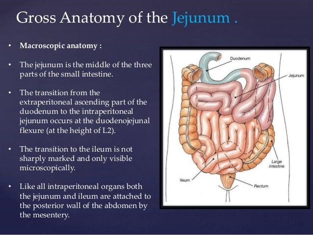 Gross anatomy of the jejunum , including blood and nerve supply, veno…