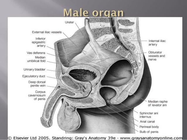 Gross anatomy of the reproductive system
