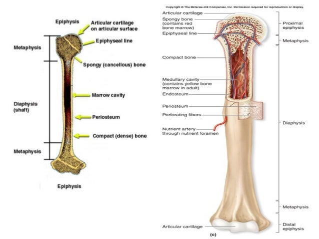 Gross Structure Of Adult Long Bone