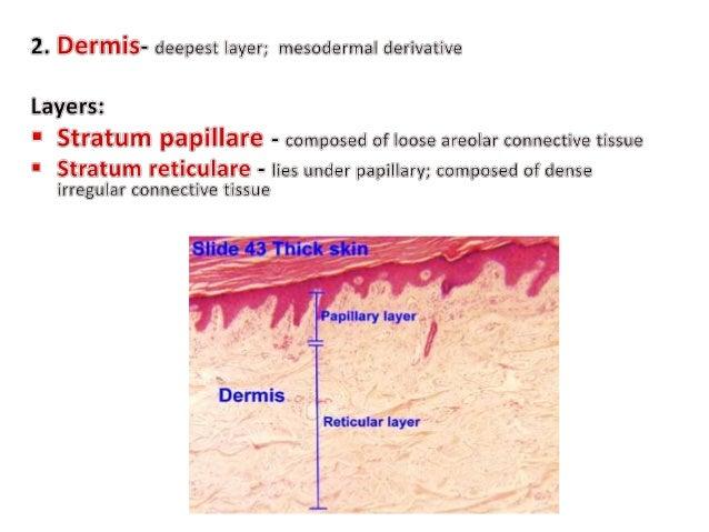 Comparative Anatomy - Integumentary System