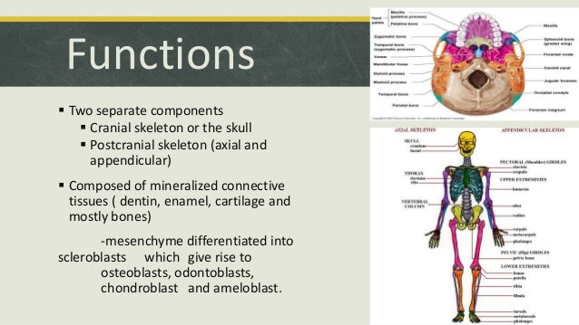 structure function of axial skeleton 75 embryonic development of the axial skeleton  121 basic structure and function of the nervous system  the most apparent functions of the skeletal system are .