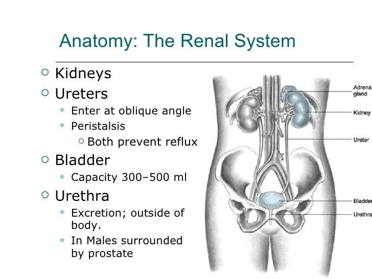 Anatomy: The Renal System <ul><li>Kidneys </li></ul><ul><li>Ureters </li></ul><ul><ul><li>Enter at oblique angle </li></ul...