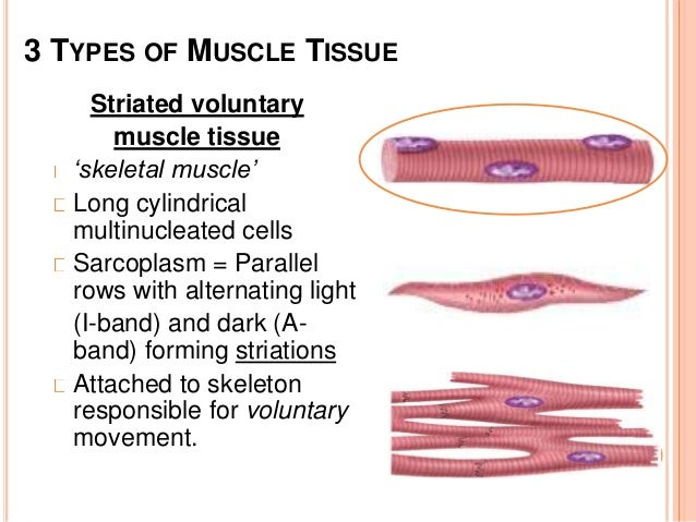 Comparative Anatomy Muscular System