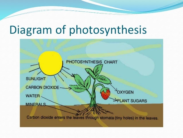 diagram of photosythesis Photosynthesis is the process by which plants use the sun's energy to make sugar (glucose) for food plants absorb energy from sunlight, take in carbon dioxide from the air through their leaves, take up water through their roots, and produce glucose and oxygen photosynthesis takes place on land .