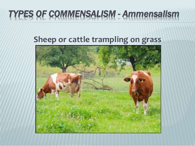 relationship between cattle egrets and cows for sale