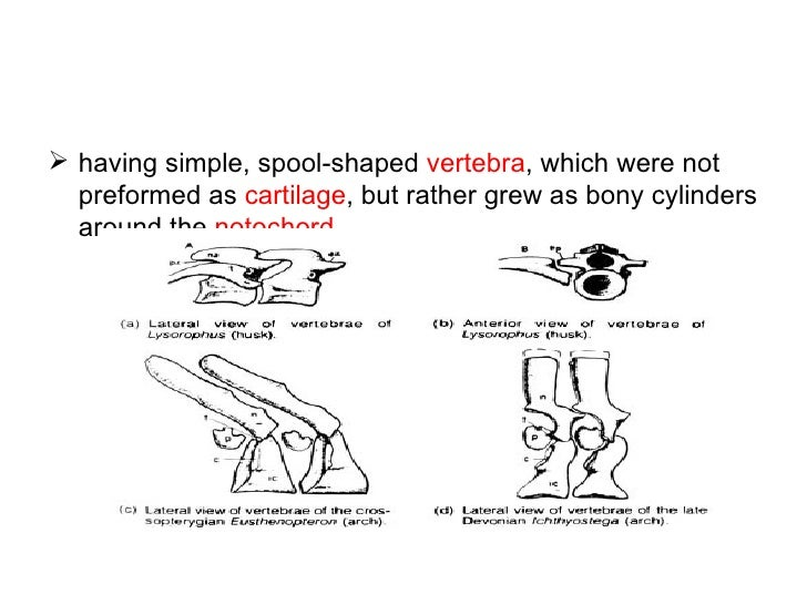    Six different groups are known, the   Acherontiscidae,   Adelospondyli,   Aïstopoda,   Lysorophia,   Microsauria ...