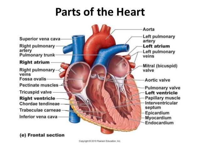 Cardiovascular System Part 1