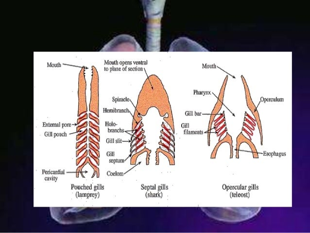 Comparative anatomy respiratory system 17 ccuart Images