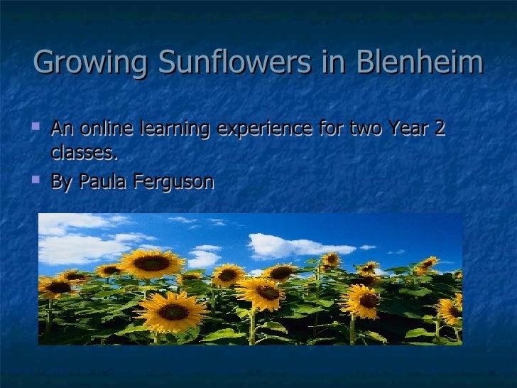 Growing Sunflowers in Blenheim <ul><li>An online learning experience for two Year 2 classes. </li></ul><ul><li>By Paula Fe...