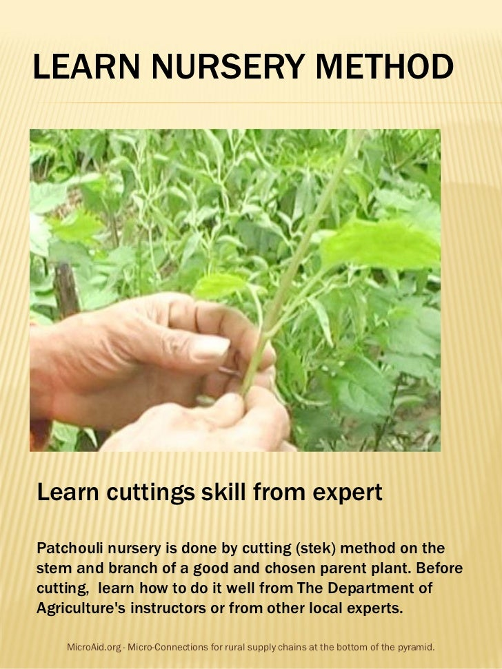 LEARN NURSERY METHODLearn cuttings skill from expertPatchouli nursery is done by cutting (stek) method on thestem and bran...