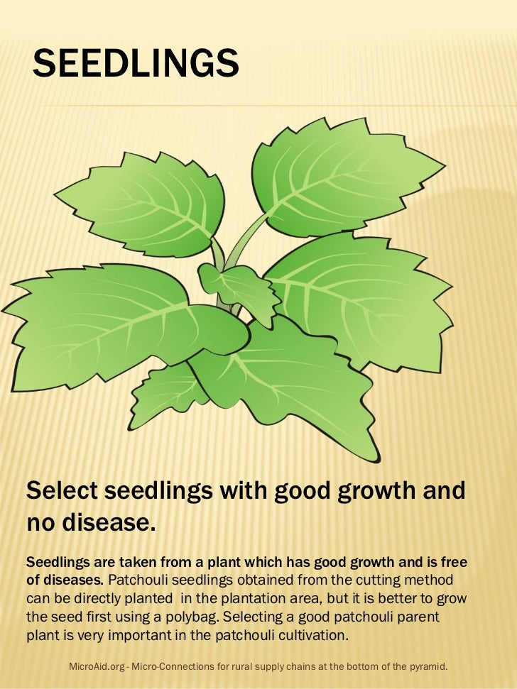SEEDLINGSSelect seedlings with good growth andno disease.Seedlings are taken from a plant which has good growth and is fre...
