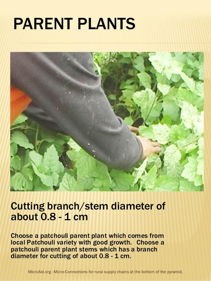 PARENT PLANTSCutting branch/stem diameter ofabout 0.8 - 1 cmChoose a patchouli parent plant which comes fromlocal Patchoul...