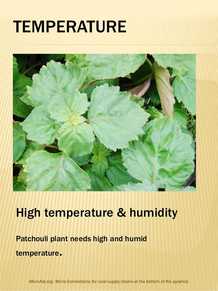 TEMPERATUREHigh temperature & humidityPatchouli plant needs high and humidtemperature        .   MicroAid.org - Micro-Conn...