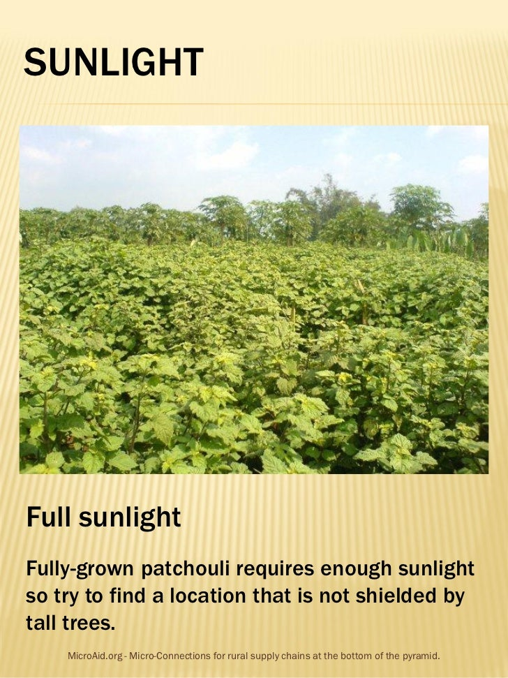 SUNLIGHTFull sunlightFully-grown patchouli requires enough sunlightso try to find a location that is not shielded bytall t...
