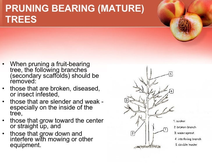 How To Grow A Peach Tree