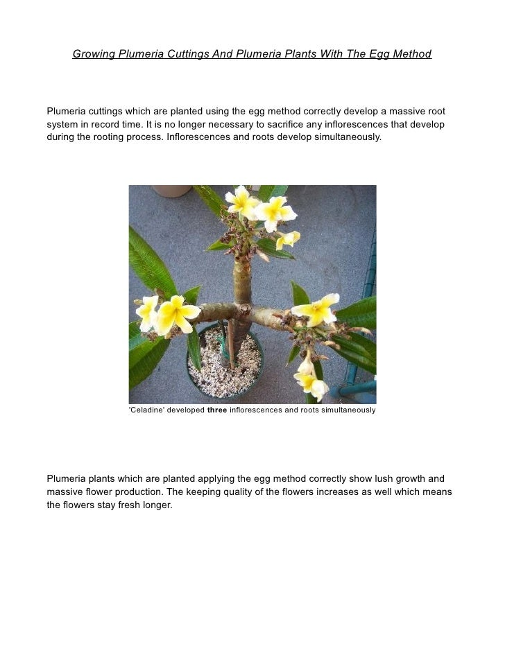 Growing Plumeria Cuttings And Plumeria Plants With The Egg MethodPlumeria cuttings which are planted using the egg method ...